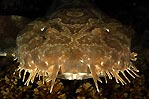 Wobbegong Shark Portrait