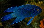 Southern Blue Devil