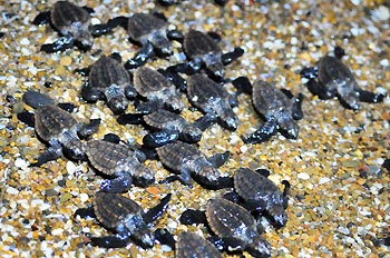 Loggerhead Turtle Hatchlings at 'Mon Repos', Bundaberg, Queensland, Australia.
