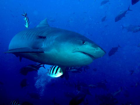 Fijian Tiger Shark