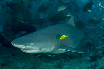 Bull Shark - photographed by underwater australasia member David Baxter