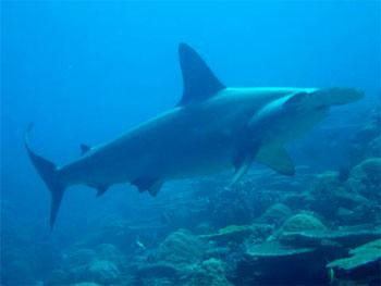Hammerhead Shark Eating Fish http   alisonsanimals wordpress com    Hammerhead Shark Eating Fish
