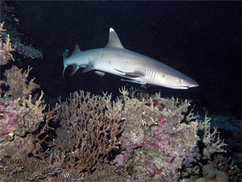Whitetip Reef Shark - photographed by underwater australasia member John Fergusson