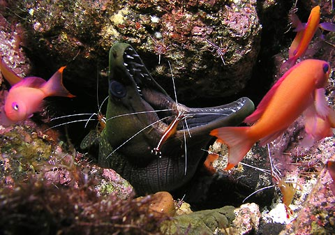 Moray Shrimp