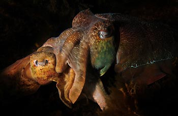Mating Australian Giant Cuttlefish at Whyalla, South Australia