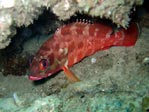 Red-Barred Rockcod