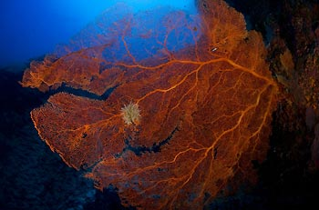 A beautiful red Gorgonian Fan at Christmas Island, Australia