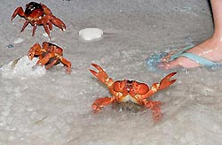 Red Crab Spawning - Christmas Island, Australia