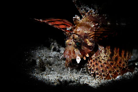 Lionfish on the Spotlight