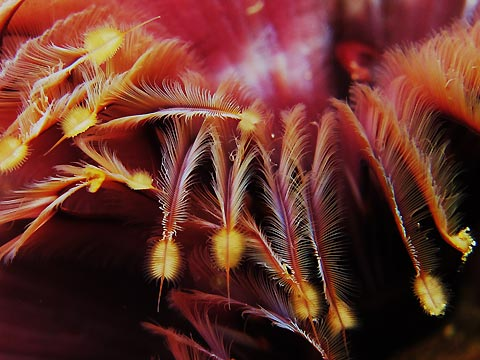 Jun Tagama with Underwater Petals, a close-up shot of a feather duster worm. Anilao, Philippines.