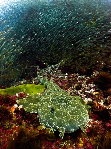 Wobbegong and Glassfish
