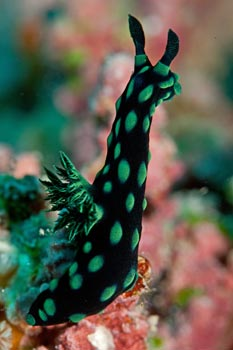Nembrotha kubaryana. Taken after Tropical Cyclone Yasi hit the Great Barrier Reef, Queensland, Australia