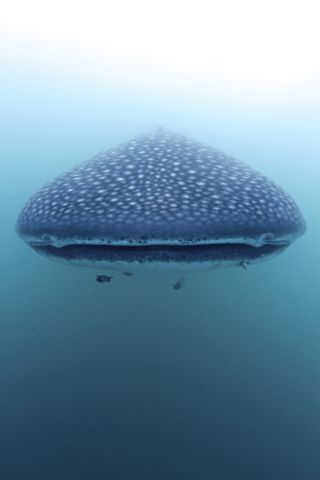 Head to Head with a Whale Shark