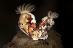 Nudibranch with Emperor Shrimp