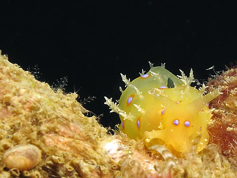 Yellow Sea Hare