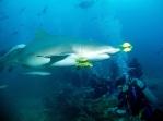 Lemon Shark at Beqa