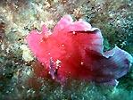 Leafy Scorpionfish