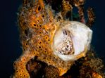 Frogfish Orange with open Mouth