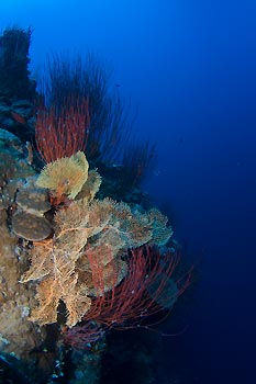 Gorgonian Fan - Protect our Coral Sea Campaign