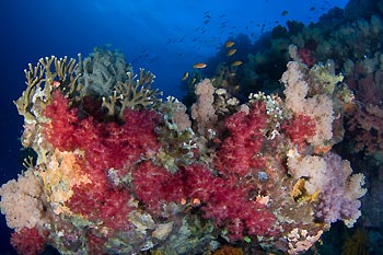 Soft Coral - Protect our Coral Sea Campaign