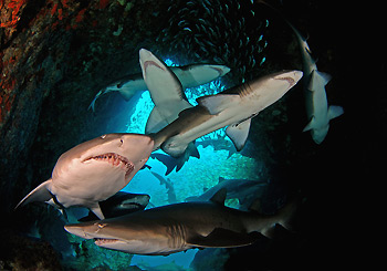 Grey Nurse Sharks aggregating at the entrance of Fish Rock Cave, South West Rocks, Australia. Photo by Peter Hitchins, South West Rock Dive Centre.