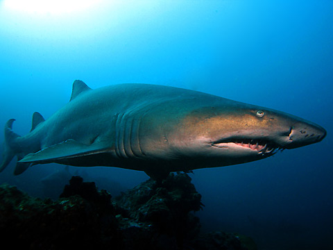 A Grey Nurse Sharkup close, Julian Rocks, Byron Bay. Photo by Ryan Pedlow.
