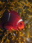 Anemonefish portrait