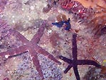 Sea Stars with Nudibranch