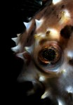 Pufferfish Portrait