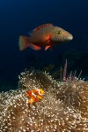 Do Wrasse Eat Anemonefish?