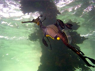Weedy Seadragon at Portsea