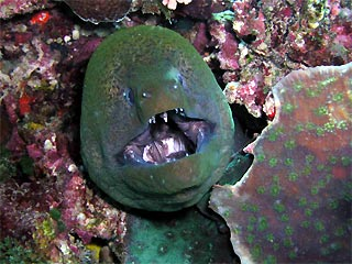 Moray - Open Wide!