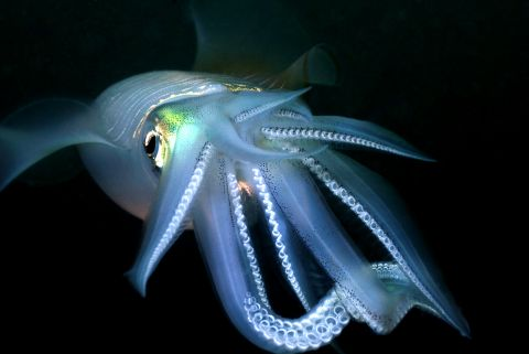 Squid (Sepiotheutis sp)