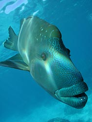 Maori Humphead Wrasse, an endangered species. By Tyrone Canning