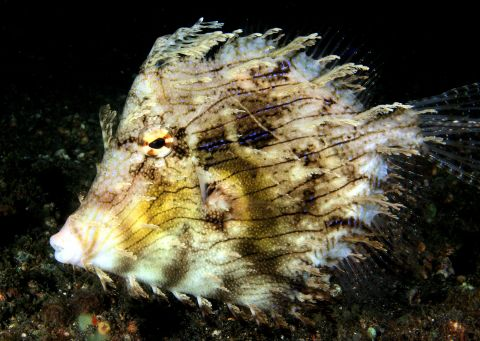 Leafy Filefish