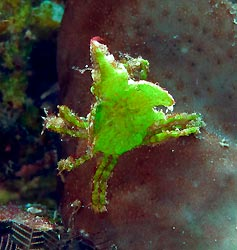 Halimeda Crab. New Ireland, Papua New Guinea.