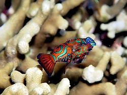 A Mandarinfish couple at New Ireland, Papua New Guinea.