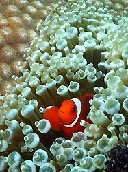 Spine-cheek Anemonefish at New Ireland, Papua New Guinea.