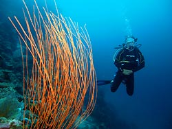 Whip Coral. New Ireland, Papua New Guinea.