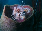 Lionfish in tube sponge