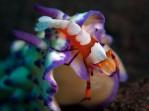 Emperor Shrimp on Mexichromis sp.