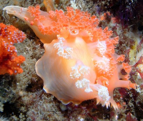 Mating Apricot Nudibranchs