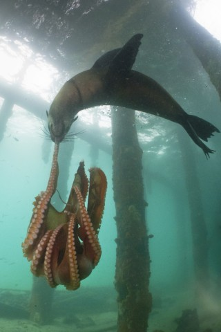 Seal vs Octopus