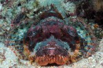 Tasseled Scorpion Fish
