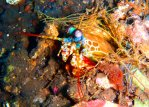 Rainbow Mantis shrimp