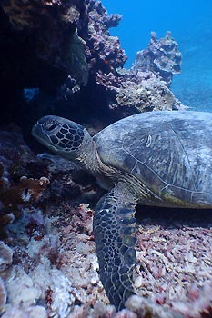 A Green Turtle at Lady Musgrave, Queensland, Australia