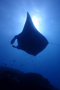 A Manta Ray at Lady Musgrave, Great Barrier Reef, Queensland, Australia