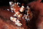 Harlequin shrimps