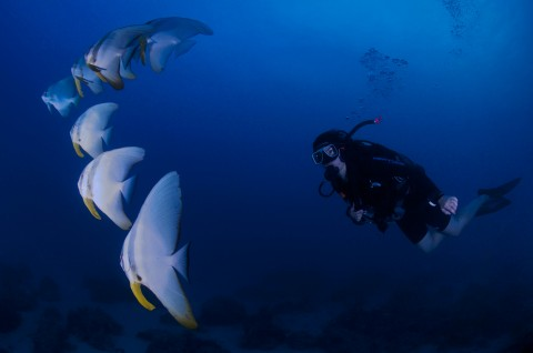 Diver and Batfish