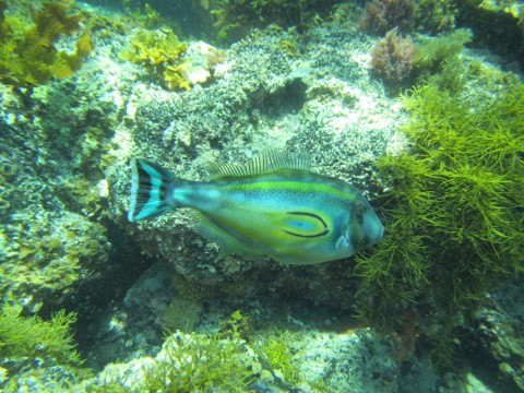 Horseshoe Leatherjacket
